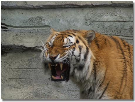 あくびのトラ