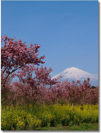 菜の花と富士3
