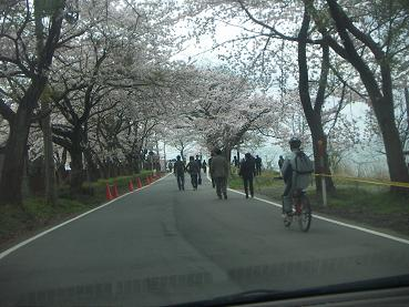海津大崎桜通り