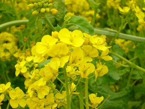 菜の花2。