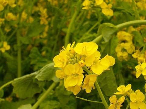 菜の花4。