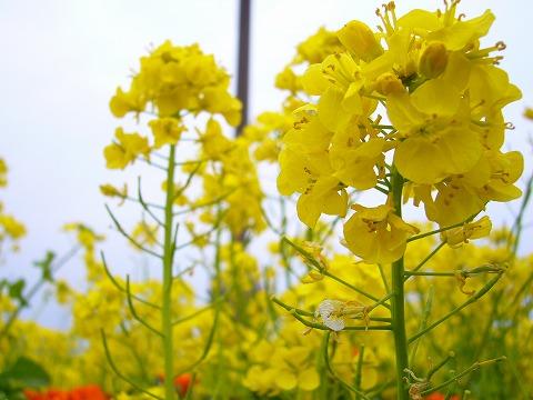菜の花7。