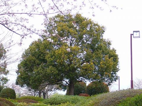 この木、なんの木?