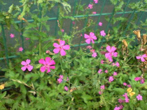 空地の雑草花