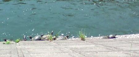 野川のカメ