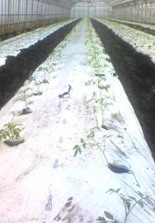 定植準備2トマト