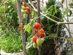 まだまだトマト