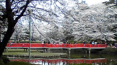 八つ橋の桜