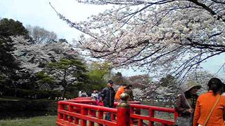 八つ橋の桜パート2