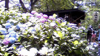 色々紫陽花