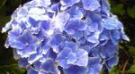 ノーマル紫陽花
