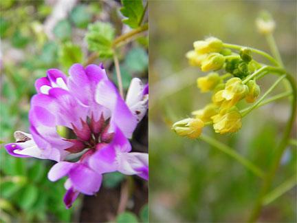 菜の花と紫色の花
