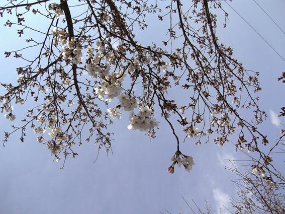 20080329桜
