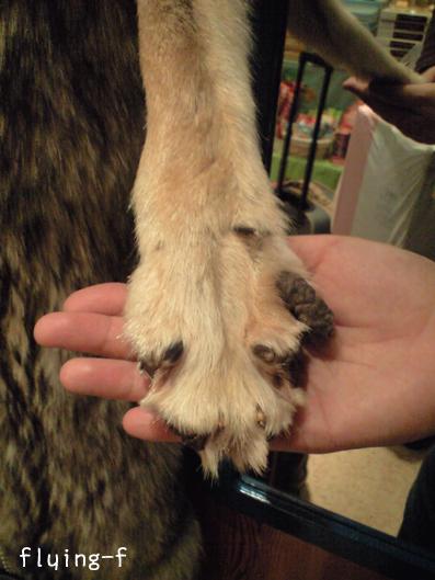 200805オオカミ毛皮2