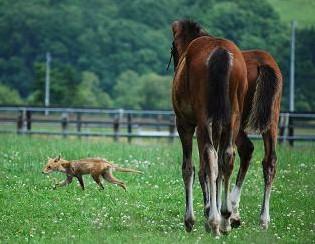 キツネと仔馬4
