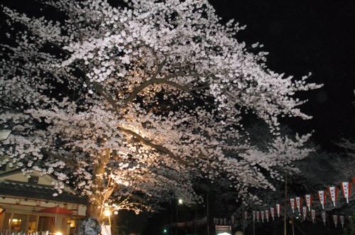夜桜330