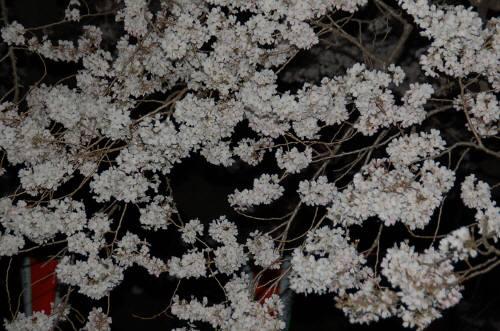 夜桜330ー1