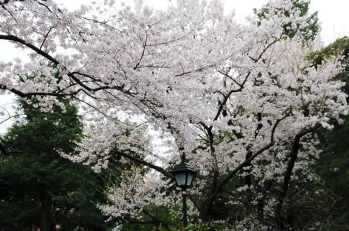 百花園桜1