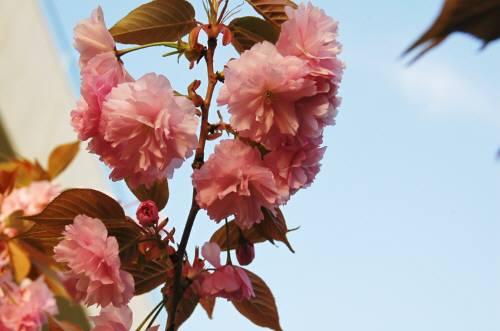 牡丹桜4.11