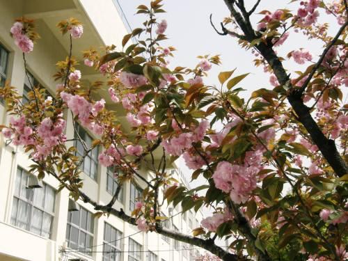 ぼたん桜 遠景