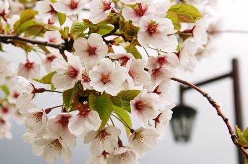 洞爺湖の桜2