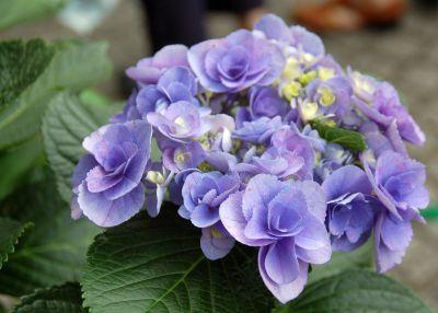 八重咲きアジサイ
