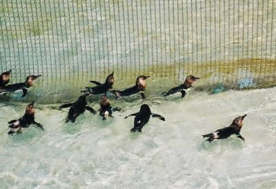 ペンギンの子ども