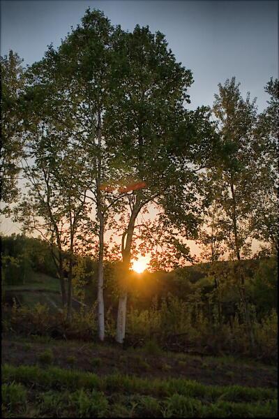 白樺と夕日