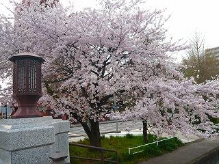 広瀬橋の桜