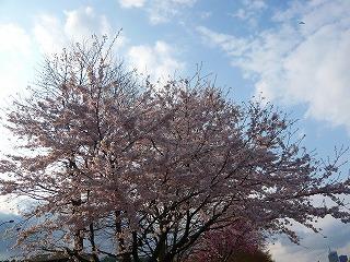 宮沢橋の桜