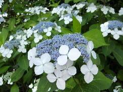 紫陽花(あじさい)~がく、白。