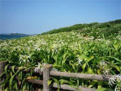 夏井ヶ浜 はまゆう群生地