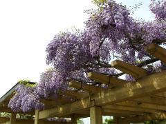 上高場の大藤~新しい藤棚