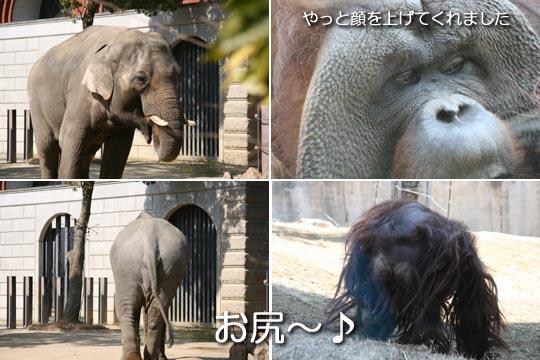 ゾウとオラウータン2