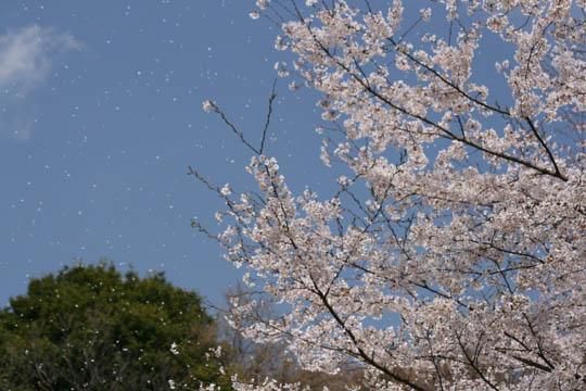 桜ふぶき~1