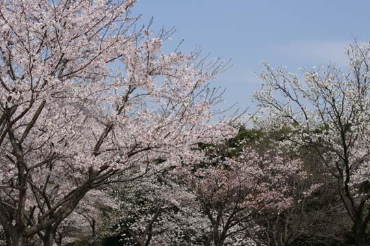 花盛りの桜の下12