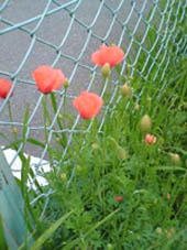 フェンス沿いの野花