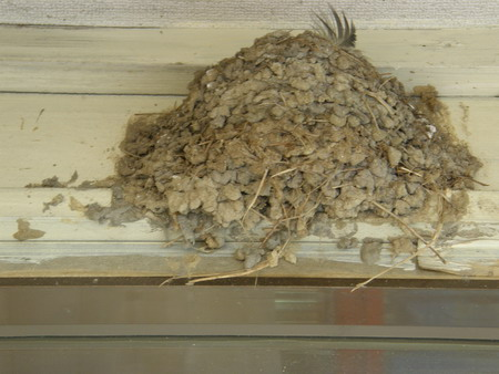 ツバメの巣発見 5・18