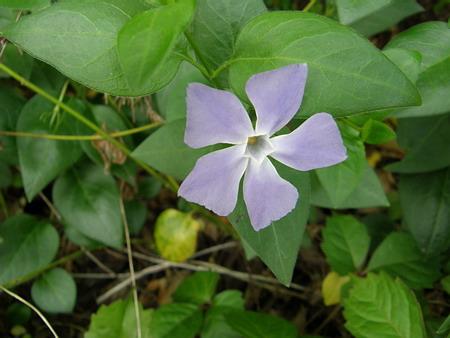 散歩 青い小さな花