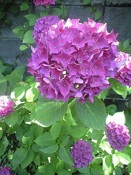 うな貴の紫陽花