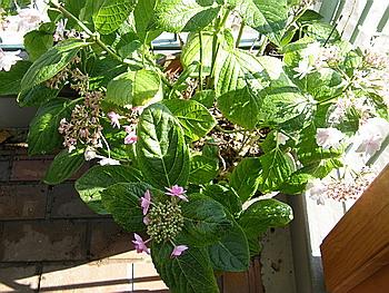 20080713_ 一つの紫陽花から二種類の花