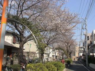 反対側の桜並木
