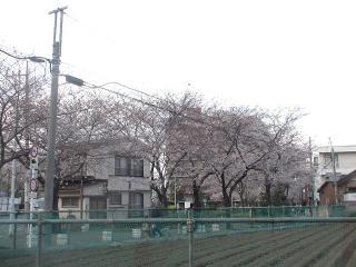勇気と歩いた桜並木