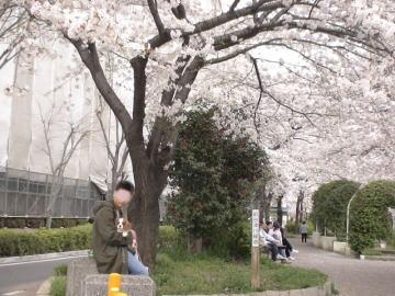 最後の桜並木