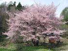 5月1日 オキナ桜