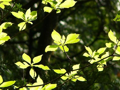 薄緑が美しい