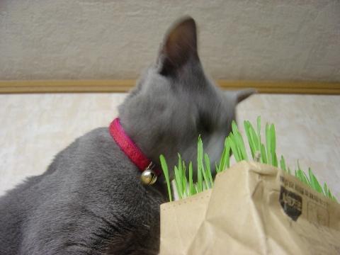 猫草は新鮮じゃないとね(2008.05.12)
