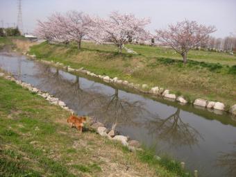 桜道その2