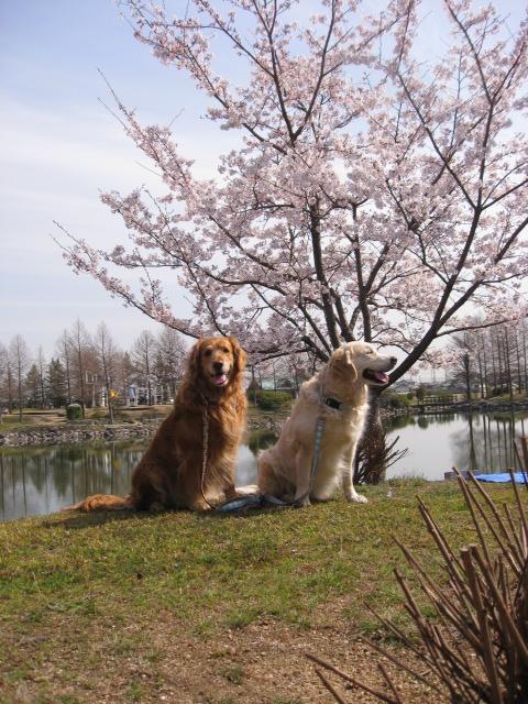 桜スポット。その1