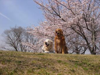 桜スポット。その2